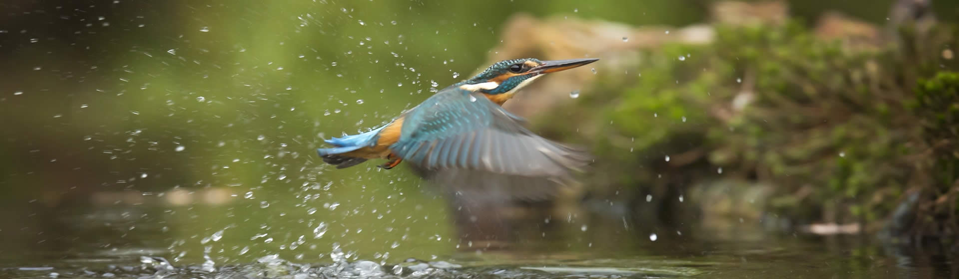 kingfisher in natural environment